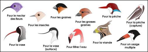 becs d'oiseaux