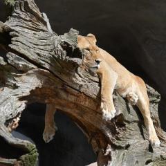 lion_paresseux_480